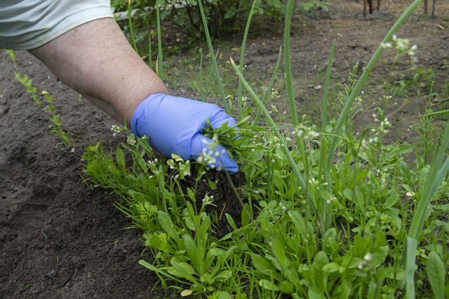 3 MORE Dangerous Flowering Weeds to Look Out For