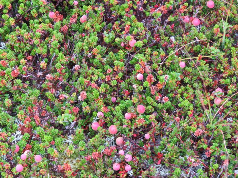 green plants with red berries