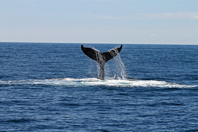 Whale fin flapping out of ocean