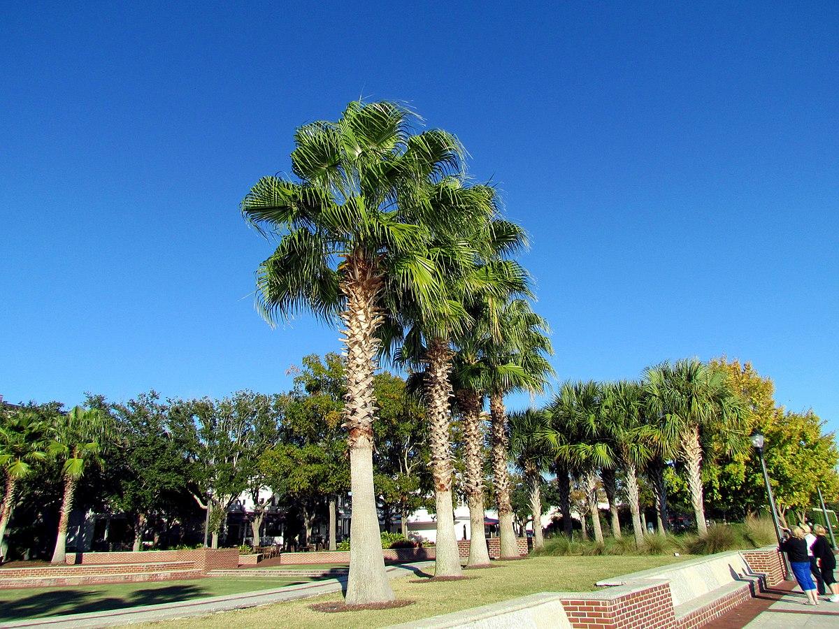 palmetto tree Beaufort SC