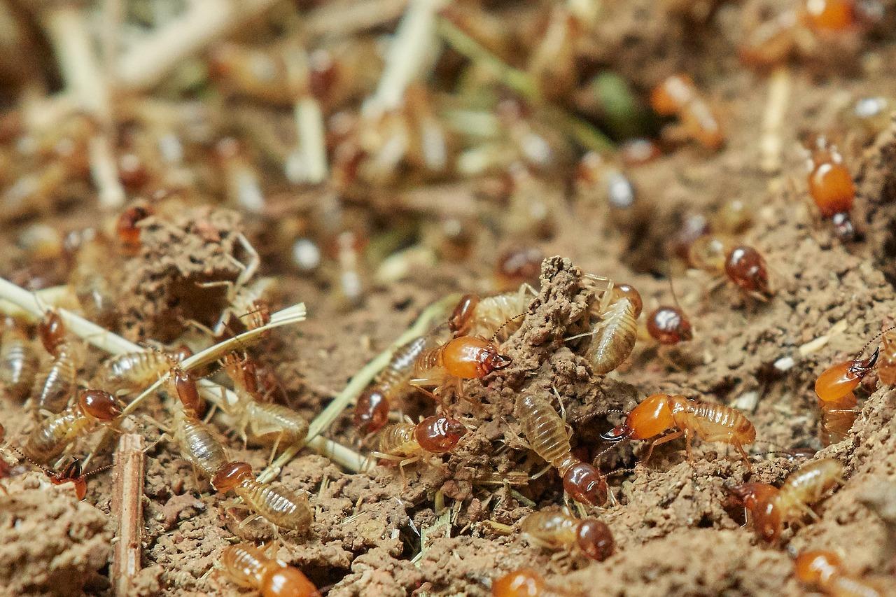 Termites