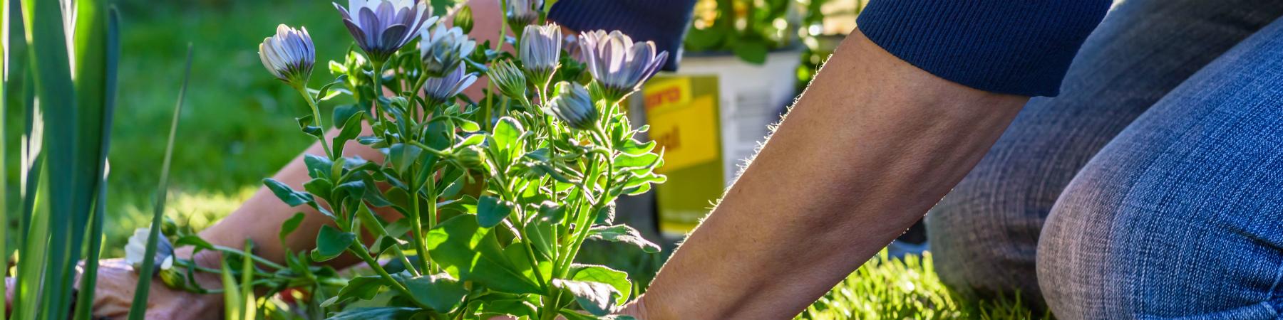 Woman planting purple flowers