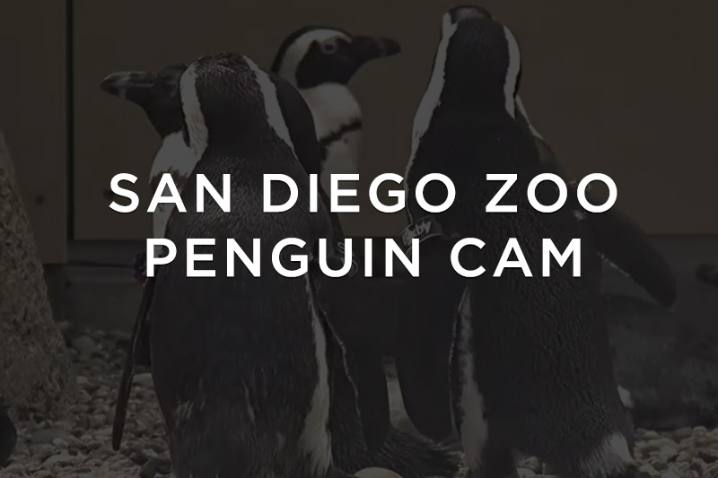 Penguins at the San Diego Zoo
