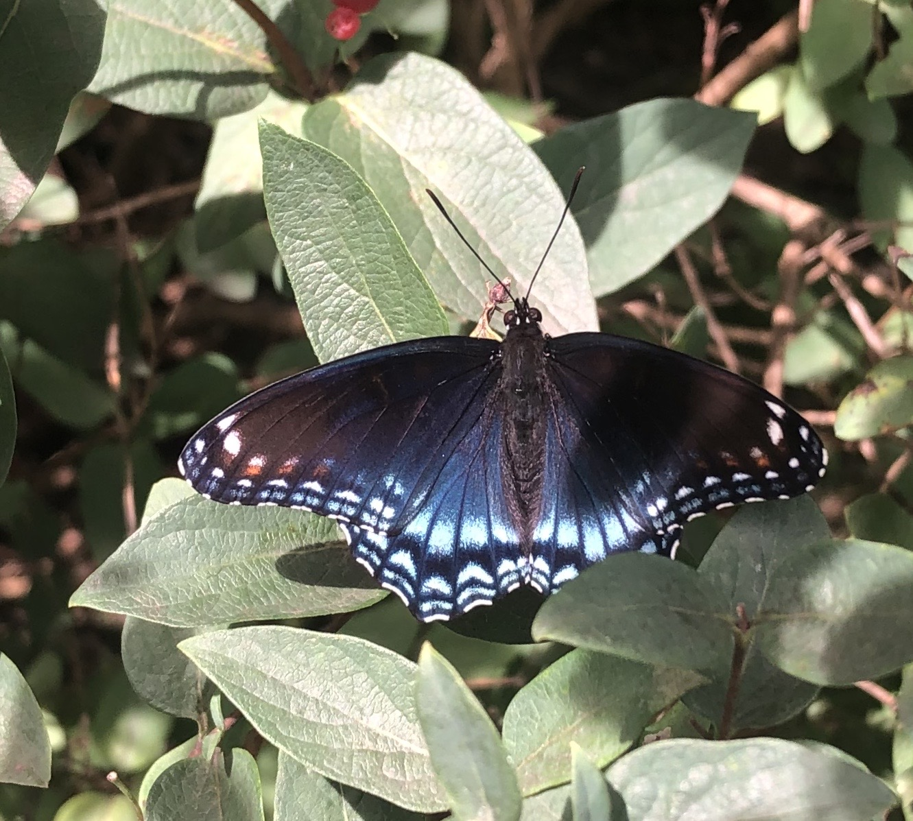 Purple Emporer butterly